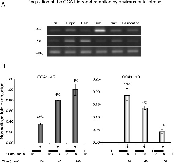 Regulation of the expression levels of alternatively spliced CCA1 isoforms by environmental stress. ( A ) Semi-quantitative RT-PCR analysis of the I4R event in CCA1 transcripts under different abiotic stress treatments. The relative abundance of the PTC-harboring CCA1 I4R isoform changes compared to the full-length spliced variant (I4S) after cold stress treatment. Two-week-old seedlings were treated as previously described [ 2 ]. Ctrl - untreated seedlings, Hi light - high intensity light, Heat - heat stress (42 °C), Cold - cold stress (4 °C), Salt - high salinity (0.5 M sodium chloride), Desiccation - dehydration (polyethylene glycol treatment). eF1α mRNA was used to demonstrate an equal PCR amplification of cDNAs. PCR was carried out for 16 cycles for all the reactions. PCR products were separated in 2 % agarose gels and stained by ethidium bromide. ( B ) qRT-PCR analysis of cold stress-induced changes in relative abundance of the CCA1 splice variants. The normalized expression of the CCA1 transcripts with spliced intron 4 (CCA1 I4S) increased after 12 and 168 hours of the cold treatment (4 °C). In contrast, the normalized fold expression of the I4R transcripts sharply decreased following the treatment at 4 °C. GOG was used as a reference housekeeping transcript. The sampling and conditions of the time course are described in detail in the Methods. The normalized fold change of expression of the target transcripts was calculated using a –ΔΔCt method and CFX Manager software. Vertical bars denote the standard error of the mean. Both RT-PCR and qRT-PCR were performed using splicing event-specific oligonucleotide primers (see Additional file 2 ). ZT - Zeitgeber time (hours).