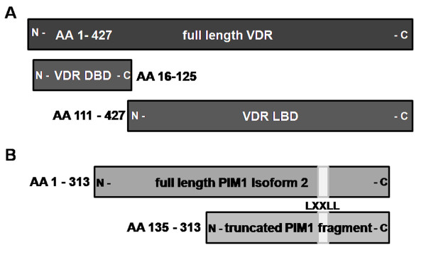 Illustration of the used VDR/Pim-1 variants. ( A ) In addition to full-length VDR the DNA Binding Domain (DBD: AA 16–125) and the Ligand Binding Domain (LBD: AA 111–427) of the VDR were subjected for Y2H analysis as bait molecules. They were tested with ( B ) full-length PIM-1 isoform 2 as well as the truncated version of PIM-1 (AA 135–313).
