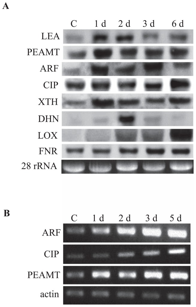 Expression analyses of selected ESTs under osmotic stress. (A) Northern blot analysis. Total RNA was denatured, transferred to Hybond-N + nylon membranes and hybridized with DIG-labeled probes. (B) Expression analysis by RT-PCR. LEA, late embryogenesis abundant family protein; PEAMT, phosphoethanolamine methyltransferase; ARF, ETTIN-like auxin response factor; CIP, chloroplast inositol phosphate; XTH, xyloglucan endotransglucosylase/hydrolase; DHN, dehydrin; LOX, lipoxygenase; FNR, ferredoxin-NADP(H) oxidoreductase. C, unstressed control; 1 d, 2 d, 3 d, 5 d and 6 d indicate days of osmotic stress.