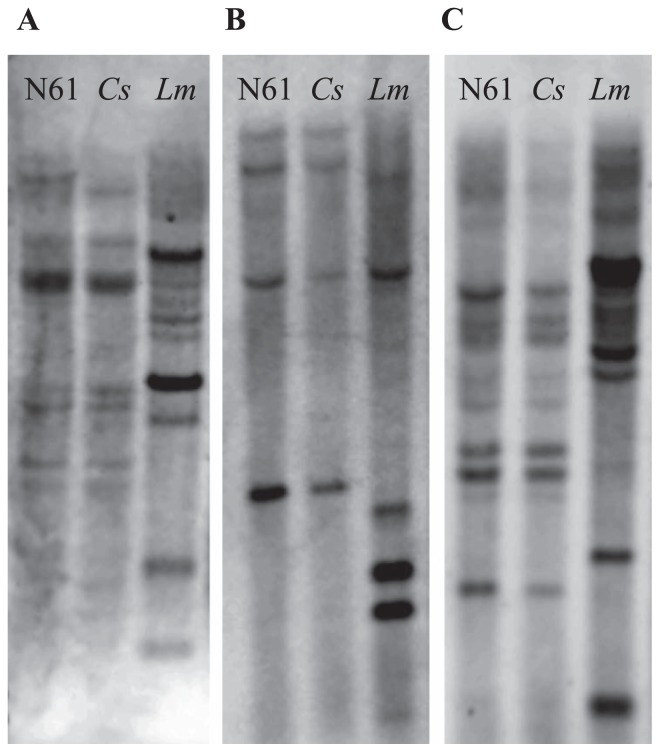 Estimation of the copy number of genes for (A) ARF, (B) CIP and (C) PEAMT by Southern blot analysis. DNA was digested, electrophoresed, denatured, neutralized, transferred to Hybond-N + nylon membrane and hybridized with DIG-labeled probes. ARF, ETTIN-like auxin response factor; CIP, chloroplast inositol phosphate; PEAMT, phosphoethanolamine methyltransferase.