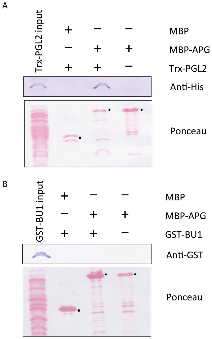 Analysis of the interaction of PGL2 and <t>BU1</t> with APG. A) Interaction between PGL2 and APG in vitro analyzed by pull-down assay. Amylose resin–bound MBP-APG or MBP was incubated with an equal amount of Trx-PGL2. Proteins co-precipitated with the amylose resin were detected by immunoblotting using anti-His antibody (upper). B) Interaction between BU1 and APG in vitro analyzed by pull-down assay. Amylose resin–bound MBP-APG or MBP was incubated with an equal amount of GST-BU1. No co-precipitation was detected by immunoblotting using anti-GST antibody (upper). Ponceau staining indicated comparative amounts of MBP (●) and MBP-APG (◆).