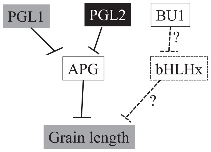 Model for regulation of grain length by bHLH proteins in rice. Typical bHLH proteins APG and a hypothetical protein, bHLHx, negatively regulate rice grain length. Atypical bHLH proteins PGL1 and PGL2 function as positive regulators of grain length and suppress the function of APG through heterodimerization, while the closest homolog of PGL2, BU1, does not. BU1 is assumed to be involved in regulation of grain length through heterodimerization with bHLHx to suppress its function. Dotted lines indicate a hypothetical pathway.