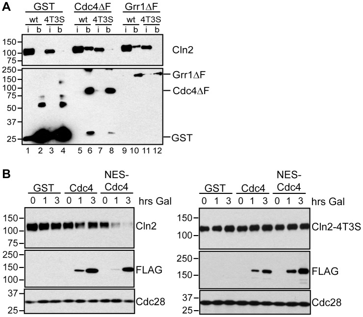 Cdc4 can target Cln2 for degradation upon co-localization. (A) Cdk-phosphorylated Cln2 interacts with Cdc4 and Grr1. Myc and GST Western blots showing pull-down of GST, GST-Cdc4ΔF and GST-Grr1ΔF proteins from grr1Δ cells expressing Cln2-13Myc (wt) or Cln2-4T3S-13Myc (4T3S). 2% input (i) and glutathione-sepharose bound proteins (b) are shown. (B) Expression of cytoplasmic Cdc4 downregulates Cdk-phosphorylated Cln2. Western blot showing levels of Cln2-13Myc, or Cln2-4T3S-13Myc, in grr1Δ cells after induction of GST, GST-Cdc4-FLAG, or GST-NES-Cdc4-FLAG expression following the addition of galactose for the indicated number of hours. Levels of FLAG-tagged proteins and Cdc28 are also shown. For all gels, molecular-weight markers are indicated at the left.