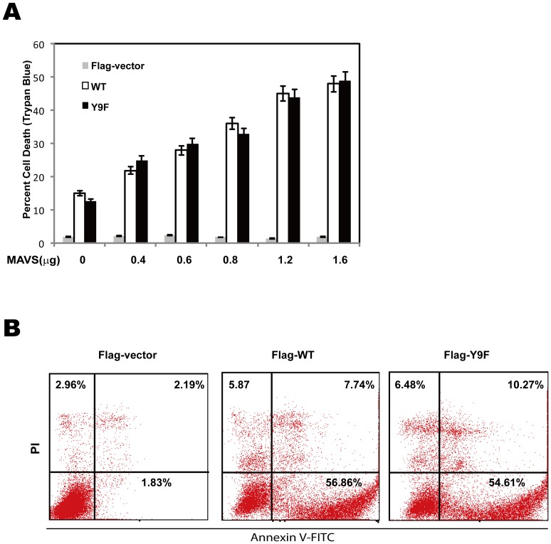 MAVS Y9F is dispensable for MAVS-induced apoptosis. (A) HEK293T cells were transfected with increasing amount of Flag-vector, Flag-WT or Flag-Y9F mutant. Cells were harvested for Trypan Blue counting 48 h post-transfection. Data are mean of three independent experiments ± SEM done in triplicate. (B) HEK293T cells were transfected with 1.0 µg expression vector encoding Flag-vector, Flag-WT or Flag-Y9F mutant. Annexin V assays were performed 48 hours post-transfection.