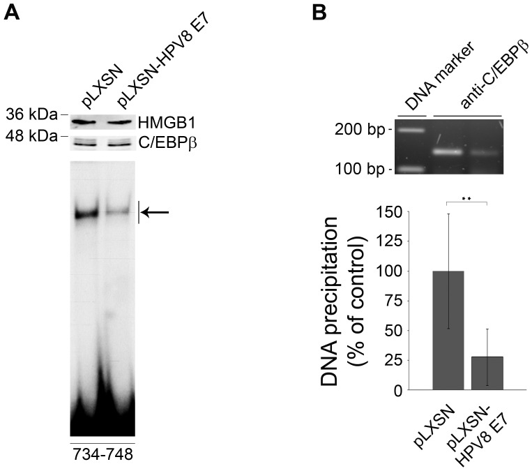 HPV8 E7 interferes with binding of C/EBPβ to the CCL20 promoter. (A) Nuclear extracts from HaCaT cells stably expressing HPV8 E7 (pLXSN-HPV8 E7) and corresponding control cells (pLXSN) were analyzed by Western blot for C/EBPβ protein and HMGB1 expression (upper panels). Identical amounts of the respective nuclear extracts were used for EMSA using the 32 P-labeled oligonucleotides (nt 734–748) containing the C/EBP binding site in the CCL20 promoter (lower panel). The complex corresponding to endogenous C/EBP binding activity within the CCL20 promoter is indicated by an arrow. (B) The same cells were used for chromatin immunoprecipitation. Protein-genomic DNA complexes were precipitated with anti-C/EBPβ antibody. DNA was isolated, amplified by real-time PCR with primers specific for the nt 638–677 region of the CCL20 promoter. The amplicon was quantified (lower panel) and visualized on an agarose gel (upper panel). The amount of target DNA precipitated from the pLXSN control cells was set at 100%. The mean values ± SD from three independent experiments are presented. Asterisks represent statistical significance, p = 0.008.