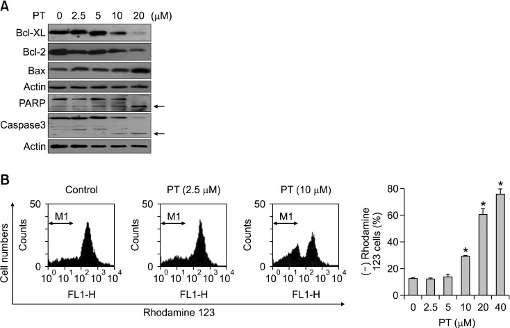 Effect of PT on the release of apoptosis-related proteins and MMP in RI-T cells. (A) Changes of <t>Bcl-X</t> L , Bcl-2, and <t>Bax</t> expressions in RI-T cells treated with PT. (B) Cells stained with rhodamine 123 were counted with a FACStar flow cytometer. The graph shows percentages of rhodamine 123 negative cells. * P