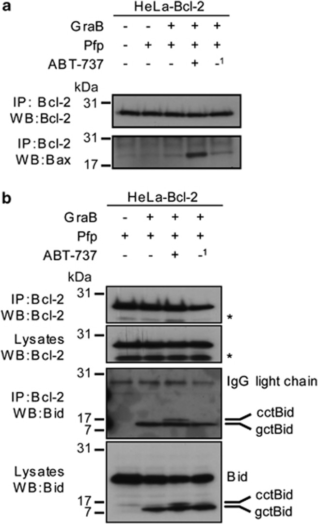 Bcl-2 sequesters gctBid in the absence of ABT-737 but only binds Bax after treatment with ABT-737. HeLa-Bcl-2 cells were treated with Pfp/GraB for 1 h and a further 30 min±ABT-737 (500 nM) before lysis in 1% digitonin lysis buffer. ( a ) Bcl-2 was immunoprecipitated and immunoblotted for Bcl-2 (upper panel) or Bax (lower panel). ( b ) Similarly Bcl-2 was again immunoprecipitated and immunoblotted for Bcl-2 (top panel) or Bid (both the GraB (gc) and caspase (cc) cleaved forms; third panel). Whole-cell lysates were also immunoblotted for Bcl-2 (second panel) and Bid (bottom panel). 1 After Pfp/GraB treatment cells were incubated for an additional 30 min in the absence of ABT-737. *Is a non-specific band. The experiment was performed twice