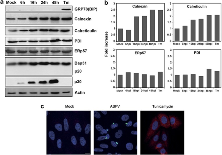 ASFV induces the expression of ER chaperones but not the expression of ERp57 or fragmentation of Bap31. ( a ) Western blot analysis of the ER chaperones in Vero cells infected with ASFV or treated with tunicamycin (Tm). Cell lysates were harvested at the indicated times after infection and then, analyzed. Actin was used as protein load control and viral infection was followed by p30 viral protein expression. ( b ) Quantification of the bands by densitometry corrected to actin data and normalized to control values. ( c ) Representative confocal micrographs of Vero cells grown on glass slides were treated with tunicamycin or infected with B54GFP-2 for 16 hpi. Cells were fixed, stained with anti-BiP plus Alexa Fluor 594-conjugated secondary antibody and incubated with Topro-3 for DNA staining and then analyzed by confocal fluorescence microscopy. Bar 10 μ M