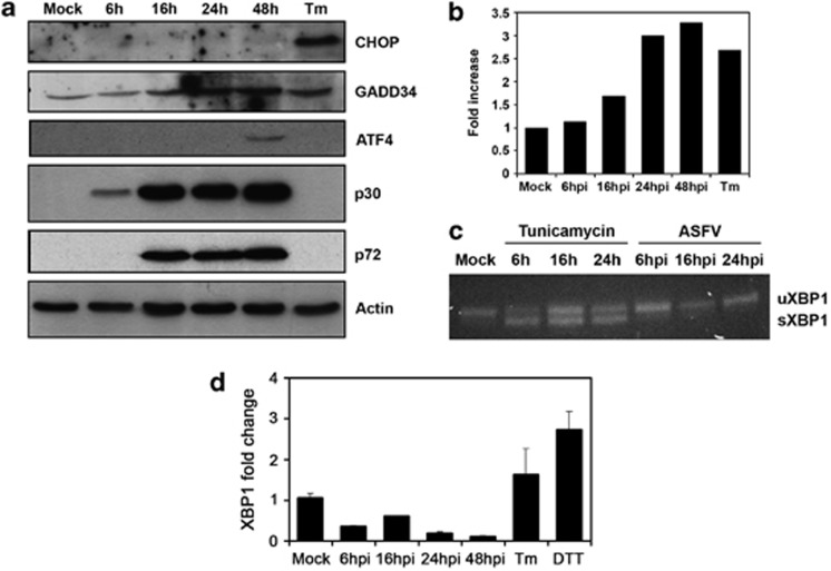 ASFV regulates UPR signaling. ( a ) Western blot analysis of CHOP, GADD34, ATF4, p30 and p72 viral proteins in Vero cells infected with ASFV or treated with tunicamycin, lysated at the indicated times after infection with actin as protein load control. ( b ) Quantification of the bands corresponding to GADD34 by densitometry was corrected to actin data and normalized to control values ( c ) Unspliced (uXBP1) and spliced (sXBP1) bands were RT-PCR-amplified using specific primer pairs. Cells treated with tunicamycin were used as a positive control for the induction of spliced XBP1. ( d ) XBP1 mRNA levels quantified with real-time RT-PCR. Total RNA was isolated from ASFV-infected Vero cells at a range of times post-infection. The XBP1 message was normalized to the 18S ribosomal message and x-fold changes were calculated as described in Materials and Methods. DTT and Tm-treated cells were used as control. Data are means±S.D. from three independent experiments