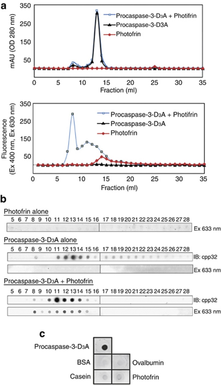 Gel filtration analysis of the interaction between Photofrin and recombinant procaspase-3-D 3 A. Recombinant procaspase-3-D 3 A alone (1 mg), Photofrin alone (18.13 μ g) or recombinant procaspase-3-D 3 A (1 mg) plus Photofrin (18.13 μ g) (molar ratio 1 : 1) were applied to Superose 12 columns for gel filtration analysis, as described. ( a ) Each fraction was subjected to optical density measurement (280 nm) for procaspase-3-D 3 A proteins and fluorescence measurement (excitation 400 nm and emission 630 nm) for Photofrin. ( b ) Fractions were also directly spotted onto a PVDF membrane, and procaspase-3-D 3 A and Photofrin signals were detected by immunoblotting and fluorescence scanning (Typhoon 9400), respectively. ( c ) Procaspase-3-D 3 A, bovine serum albumin (BSA), ovalbumin, casein (10 μ g of each protein) or Photofrin (5 μ g) were spotted onto a PVDF membrane. The membrane was incubated with Photofrin-containing solution (100 μ g in 10 ml distilled water) at room temperature in the dark for 3 h, washed thrice for 10 min with distilled water and thrice for 10 min with TTBS buffer (20 mM Tris-HCl, pH 7.4, 0.5 M NaCl, and 0.05% Tween 20). The washed membrane was air-dried and then scanned by a Typhoon 9400 fluorescence scanner
