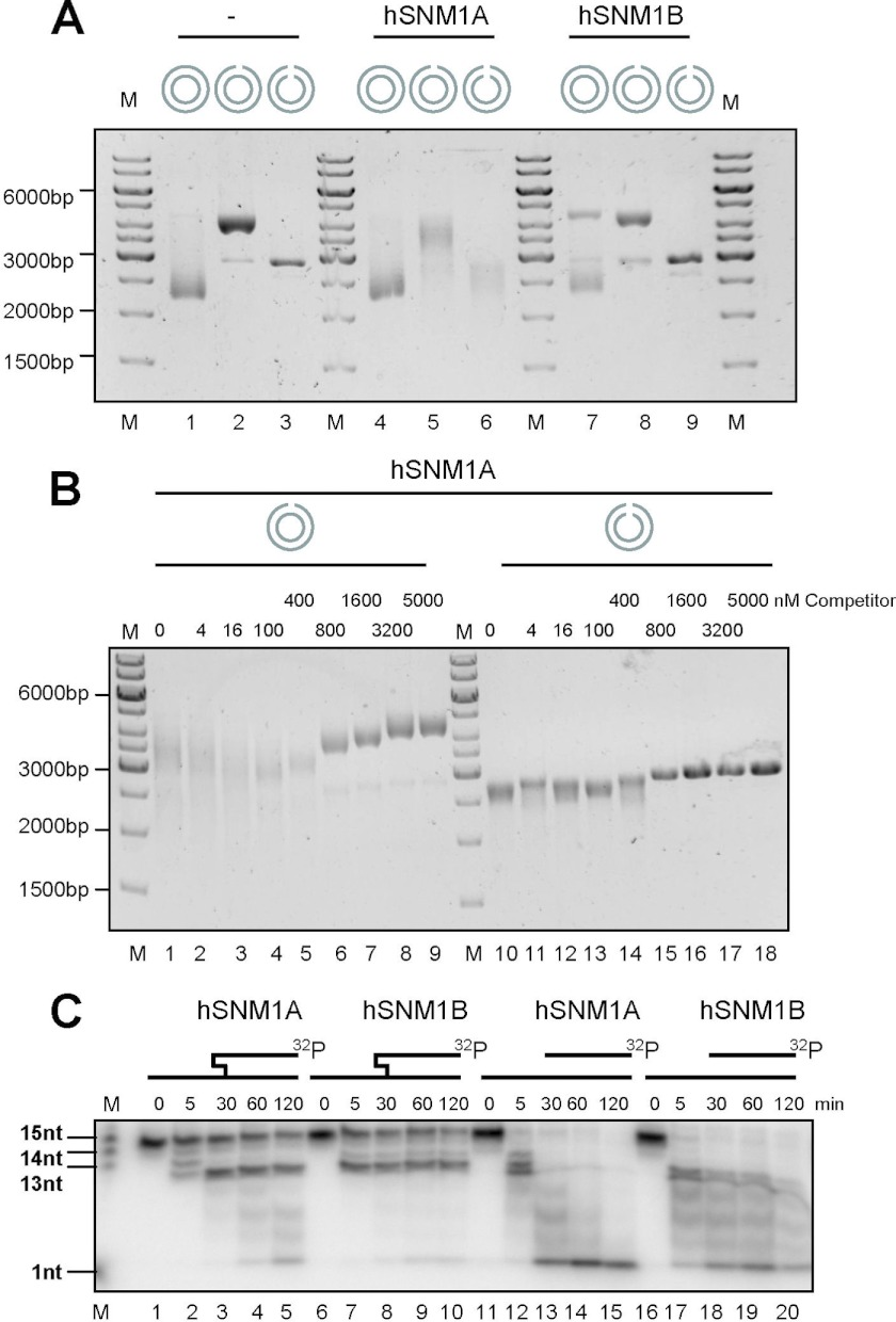 hSNM1A and hSNM1B are both able to hydrolyze dsDNA past a blockage in the hydrolyzed as well as in the complementary strand, but only hSNM1A hydrolyzes plasmid-based gapped and linearized DNA, a reaction that is only inhibited by the presence of a large excess (more than 25-fold) of oligonucleotide substrate. A , hydrolysis of plasmid substrate, either intact, gapped, or linearized, by hSNM1A or hSNM1B is shown. Lane M , GeneRuler 1kb DNA ladder, plasmid substrate (pUC18-shortGAP46, 325 ng; 16 n m free ends) in the absence of enzyme ( lanes 1–3 ), in the presence of 21 n m hSNM1A ( lanes 4–6 ), or in the presence of 219 n m hSNM1B ( lanes 7–9 ). Plasmid substrate was either left untreated ( lanes 1 , 4 , and 7 ), gapped with NbBbvCI ( lanes 2 , 5 , and 8 ), or linearized with HindIII ( lanes 3 , 6 , and 9 ). B , hydrolysis of plasmid substrate either gapped or linearized by hSNM1A in the presence of competitor dsDNA. Lane M , GeneRuler 1-kb DNA ladder, plasmid substrate (pUC18-shortGAP46, 325 ng; 16 n m free ends) that has been gapped by NbBbvCI ( lanes 1–9 ) or linearized by HindIII ( lanes 10–18 ) and treated with by 21 n m hSNM1A in the presence of an increasing concentration of 21mer dsDNA. C , shown are time courses (0, 5, 30, 60, 120 min) of hydrolysis of cross-linked substrate ( lanes 1–10 ) and a non-cross-linked control ( lanes 11–20 ) by 0.001 μg (2.0 n m ) hSNM1A ( lanes 1–5 and 11–15 ) or 0.195 μg (427 n m ) hSNM1B ( lanes 6–10 and 16–20 ). nt , nucleotides.