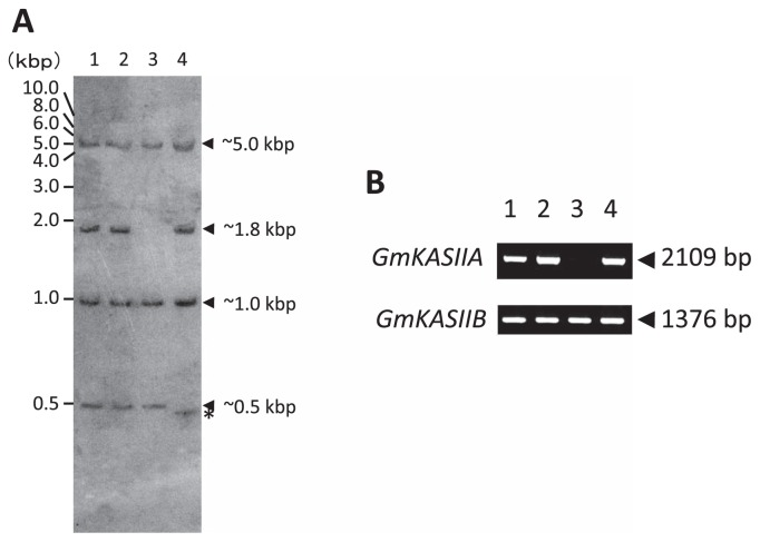 Southern blot and <t>PCR</t> analysis of GmKASIIA and GmKASIIB genes in the normal soybean cultivar Bay and three high-palmitic-acid mutants. (A) Hin d III-digested <t>DNA</t> fragments (lane 1, Bay; lane 2, KK7; lane 3, J10; lane 4, M22) were hybridized with a GmKASIIA cRNA probe. (B) GmKASIIA and GmKASIIB DNA fragments were amplified with gene-specific primer sets (lane 1, Bay; lane 2, KK7; lane 3, J10; lane 4, M22).