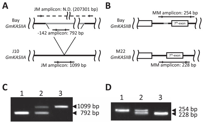 Development of PCR-based markers for the J10 and M22 mutations. (A) Locations of two primer sets for detecting the mutation in J10. N.D. means not detected. (B) Location of a primer set for detecting the mutation in M22. (C) Detection of the J10 mutation: Bay (lane 1), heterozygous (lane 2) and J10 (lane 3) DNA templates. (D) Detection of the M22 mutation: Bay (lane 1), heterozygous (lane 2) and M22 (lane 3) DNA templates.