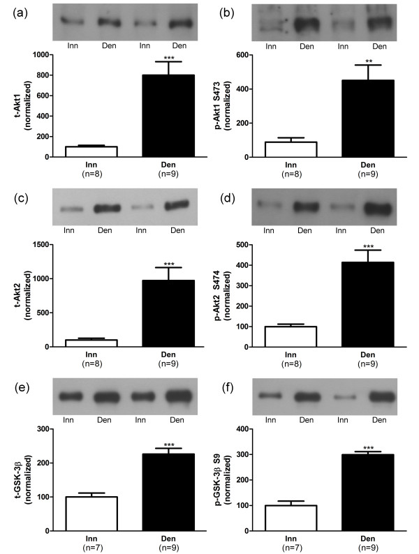 Akt and GSK-3β protein and phosphorylation levels in 6-days denervated hypertrophic hemidiaphragm muscle. Expression of Akt1, Akt2 and GSK-3β total protein (t-Akt1, a; t-Akt2, c and t-GSK-3β, e) and phosphorylated Akt1 protein (p-Akt1) at S473 (b), phosphorylated Akt2 protein (p-Akt2) at S474 (d) and phosphorylated GSK-3β protein (p-GSK-3β) at S9 (f) in 6-days denervated hypertrophic hemidiaphragm muscle (Den) compared to innervated (Inn) controls. Representative Western blots are shown together with densitometric quantifications. One innervated hemidiaphragm muscle sample was used as a reference sample and was included in all gels. All other samples were measured relative to this reference. The data were normalized to give an average signal of 100.0 in innervated muscles. Mean values ± standard error of the mean. **p