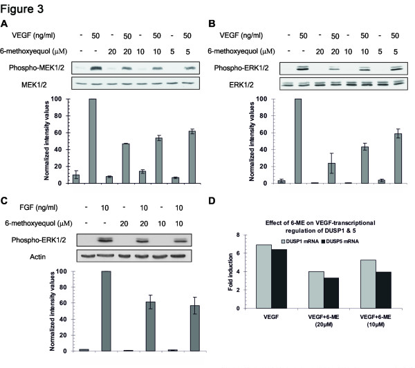 Effect of 6-ME on VEGF-induced phosphorylation of MEK1/2 and ERK1/2 and transcription of DUSP1 and DUSP5. HUVE cells were serum starved for 2 h in M199 and then stimulated with VEGF (50 ng/ml) (A B) or FGF (2.5 ng/ml) (C) , in the absence or presence of 6-ME, for 15 min. Then cell lysates were collected with 1% SDS lysis buffer supplemented with PMSF and immunoblotting followed using antibodies against endogenous phospho-MEK1/2, MEK1/2, phospho-ERK1/2, ERK1/2 and actin. Graphs show normalized intensity values ± s.d. derived from three independent experiments. (D) HUVE cells were stimulated by VEGF (50 ng/ml) in the absence or presence of 6-ME (20, 10μM) for 30 min. Then, total RNA was isolated and <t>qRT-PCR</t> experiments followed using primers for DUSP1 and DUSP5.