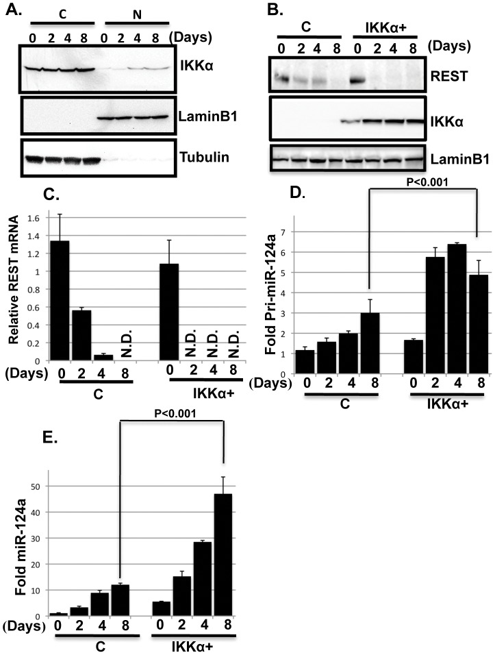 IKKα regulates REST and miR-124a expression. ( A ) IKKα accumulates in the nuclei of differentiating MESC2.10 NPCs. Representative Western blot results for levels of endogenous IKKα in the cytoplasm (C) and nuclear (N) fractions of differentiating NPCs (top panel) are shown. IKKα was detected with a mouse anti-IKKα antibody. Nuclear LaminB1 and cytoplasmic tubulin were used as loading controls (middle and bottom panels, respectively). ( B ) REST protein levels also decline faster in differentiating IKKα+ NPCs compared to differentiating controls. Representative western blot results are shown from nuclear lysates for REST (top panel), IKKα (middle panel) and laminB1 (bottom panel). REST was detected with a mouse anti-REST antibody and Anti-Flag antibody was used to detect IKKα. LaminB1 was used a as loading control. ( C ) After initiating differentiation, REST mRNA levels decline faster in IKKα+ NPCs than in control cells. Taqman probes were used to quantify the mRNA levels at the days shown. The data are shown relative to the level in proliferating control NPCs. GAPDH mRNA was used for normalization. Triplicate samples were averaged for each point, and the SEMs indicated. N.D., not detected. ( D, E ) The accumulation of primary (pri-miRNA) and mature miRNA-124a are shown in D and E, respectively. Taqman probes were used for the qPCR. Pri-miRNA was normalized to GAPDH mRNA and mature miRNA was normalized to the small RNA, RNU6. The data are shown relative to the levels in proliferating control NPCs. P values were obtained using student's t-test.