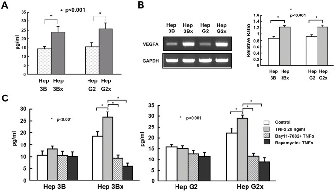 Expression of VEGF is increased in Hep3Bx and HepG2x cells and is further enhanced by TNF-α and blocked by IKKβ inhibitor Bay 11-7082 or the mTOR inhibitor rapamycin. (A). The expression levels of secreted VEGF in the culture medium of Hep3B, Hep3Bx, HepG2, and HepG2x cells were measured by ELISA assay as described in the Methods . (B). The expression levels of VEGFA mRNA were assessed in Hep3B, Hep3Bx, HepG2, and HepG2x cells using semi-quantitative RT-PCR (left) or real-time RT-PCR (right) as described in the Methods . (C). The amounts of secreted VEGF in the culture medium of Hep3B, Hep3Bx, HepG2, or HepG2x cells treated with or without TNF-α in the presence or absence of Bay11-7082 or rapamycin were measured by ELISA assay. Data are shown as means ± S.D. of three experiments. Comparisons were made between different groups as indicated. * P