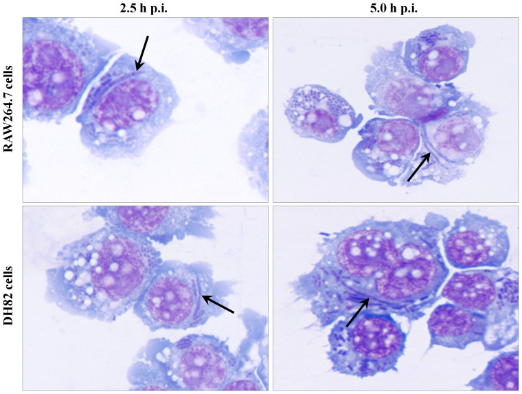 Morphological features of intracellular Y. pestis in antibiotic-free media. RAW264.7 and DH82 cells infected with Y. pestis strain KIM6+ for 30 min in <t>RPMI-1640</t> with 10% FBS media, washed with PBS to remove extracellular bacteria, and then incubated in HBSS with 10% FBS were sampled at 2.5 and 5 h p.i. for light microscopic examination by staining with Wright Giemsa stain. Arrows indicate filamentous Y. pestis . Images are presented at 1,000× magnification.