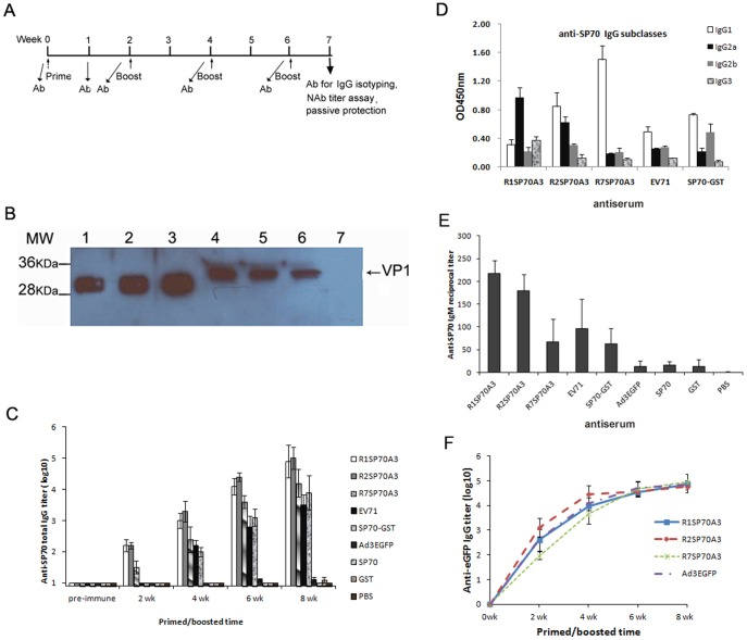 Adenoviruses expressing capsid-incorporated SP70 epitope elicited SP70-specific humoral immune responses. (A) Immunization regimen showing when immunizations were performed and when sera were collected for antibodies assay and passive protection experiment. (B) Western blot of purified SP70-GST protein (lane 1, 2, 3) and cell extracts from EV71-infected Vero cells (lane 4, 5, 6, 7). The proteins were transferred onto PVDF and reacted with mice antisera raised against R1SP70A3 (lane 1, 4), R2SP70A3 (lane 2, 5), R7SP70A3 (lane 3, 6), or Ad3EGFP (lane 7) respectively. Mice antibodies were detected with an <t>HRP-linked</t> secondary antibody and the signals were developed by ECL. The position of the EV71 VP1 capsid protein is indicated. (C) Total anti-SP70 <t>IgG</t> levels were quantified by indirect ELISA analysis with 1 µg/ml of synthetic SP70 peptide as antigen. Post-prime and post-boost sera were collected at 2, 4, 6, and 8 weeks (wk) for ELISA binding assays. Error bars represent the standard errors of the means per group (n = 5). (D) The distribution of SP70-specific IgG subtypes in the sera. Sera from mice boosted with the antigens were collected at 8-week for ELISA isotype binding assays. ELISA plates were coated with synthetic SP70 peptide. The plates were then incubated with immunized mice sera (anti-EV71-08-02 sera diluted 1∶1000 and other groups antisera diluted 1∶10000). The binding was detected with HRP-conjugated secondary isotype specific antibodies. OD at 450 nm represents isotype-specific SP70 antibody levels in sera. Data are shown as mean ± SD for each group mice (n = 4) for one of two independent experiments. (E) Early humoral responses to SP70 were determined by ELISA with synthesized SP70 peptide at day 7 following the first immunization with hexon-modified Ad vectors. Data are shown as mean ± SD for each group mice (n = 4). (F) Total anti-EGFP IgG levels were quantified by indirect ELISA analysis with 1 µg/ml of recombinant EGFP as antigen. Pos