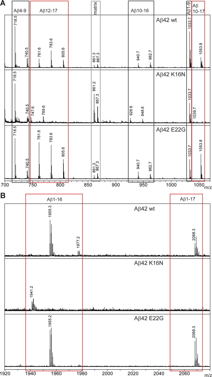 Aβ42 degradation Mass spectra of NEP proteolysis of Aβ42 peptides (wt, K16N and E22G). Freshly dissolved peptides were incubated for 6 h with human NEP, mixed with <t>α-cyano-4-hydroxycinnamic</t> acid matrix and analysed by MALDI-MS. Peptide identities are indicated at the top. See Table S5 of Supporting Information for the experimental and predicted masses. Aβ42 K16N degradation is strongly inhibited after position L17 and slowed down at position K16. Spectra with mass range from 700 to 1070 Da. Spectra with mass range from 1920 to 2070 Da.