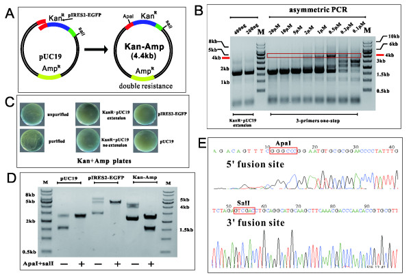 Validation of ABI-REC through double-resistance reporter assay. ( A ) The design of double resistance reporter assay. The fusion of the 1.6 kb kan R cassette (from pIRES2-EGFP) with the 2.7 kb pUC19 plasmid (ampicillin resistance) renders the new recombinant plasmid resistant to both kanamycin and ampicillin. The plasmid grows on (Kan + Amp) LB plates. An artificial <t>ApaI</t> restriction site is introduced into the 5′ fusion site to precisely localize the insertion site. ( B ) An asymmetric bridge PCR efficiently fuses the Kan R cassette into the pUC19 plasmid and generates a hybrid fragment. The gradient concentration of the primer pR was assessed and identified as within the optimal range from 2 nM to 0.2 nM in the bridge PCR. A conventional two-primer PCR reaction was conducted in parallel to compare their amplification efficiency. This indicates that the quantity of pR primer is critical to the output of fused sequence in the bridge PCR reaction. ( C ) Double resistant colonies were found to grow on (Kan + Amp) LB plates. Bridge PCR products, purified fused sequences, two-primer PCR products (extension), and a mixture of purified Kan R cassettes with pUC19 (no extension) were transformed into DH5α competent cells. Double resistant colonies were present for bridge PCR products and purified fused sequence, whereas the latter two did not produce viable colonies. This implies that intramolecular recombination occurs within the fused sequence, producing double resistant plasmids that renders cells resistant to both kanamycin and ampicillin. pUC19 and pIRES2-EGFP plasmids were not able to grow on the double-drug plates, precluding the risk of random integration of Kan R cassette into the E.coli genome. ( D ) Plasmids of the single colonies in (Kan + Amp) LB plates were extracted and digested using <t>SalI</t> and ApaI. As shown in the electrophoresis gel, the 1.6 kb insert was released, indicating that the Kan R cassette had been fused into pUC19 at pre-determined s