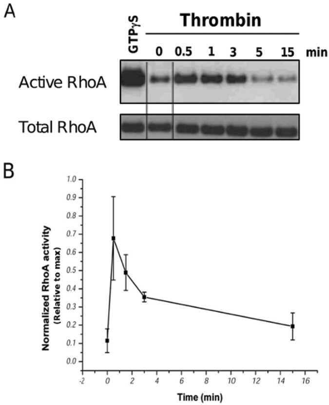 Thrombin-stimulated RhoA activity in BCEC lysates as a function of time. Transient RhoA activation in BCEC after treatment with thrombin (2 U/ml). Freshly prepapred lysates from BCEC before thrombin exposure (0 min) and after 0.5 min, 1 min, 3 min, 5 min and 15 min after thrombin exposure were assessed. Active RhoA was isolated using <t>GST-Rhotekin-RBD</t> beads following the manufacturer's protocol. In vitro GTP S-loaded RhoA was used as a positive control (square inset). Both the active RhoA levels as well as the total RhoA levels were analyzed by immunoblotting using anti-RhoA. The double lines indicate samples were taken from a different part from the same blot and exposure. (B) Quantitative analysis of 3 independent experiments, in which the activated RhoA signals were normalized to the signal of the maximal activatable RhoA obtained using GTP S treatment. Data represent mean S.E.M.