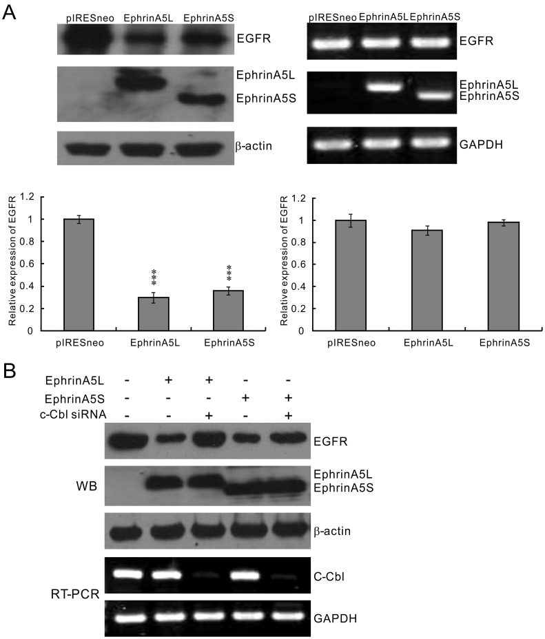 EphrinA5 isoforms suppressed EGFR expression by enhancing c-Cbl-mediated EGFR degradation. (A) Both ephrinA5L and ephrinA5S reduced EGFR protein expression level in Hep3B cells. Ectopic ephrinA5 reduced endogenous EGFR protein expression (left panel) but had no transcriptional modification of EGFR in RT-PCR (right panel). The differences were statistically significant between the treated group and untreated group. Experiments in each group were performed in triplicate. The level of significance was set at p