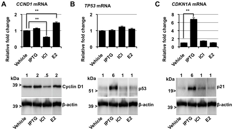 Regulation of cyclin D1, p53, and p21 mRNA and protein expression of in MCF-7p14ARF. Cells were treated with IPTG, ICI 182780 (ICI), or E2 for 12 h. Top panel: relative gene expression of A. CCDN1 , B. TP53 and C. CDKN1A mRNA quantified by qRT-PCR and relative expression normalised to control ACTB. Columns, Data represents the mean ± SEM of three separate experiments (** P