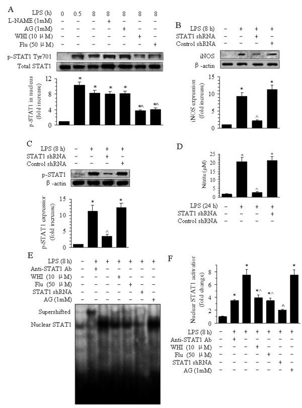 Effects of L-NAME, AG, WHI, Flu, and STAT1 siRNA on the phosphorylation of STAT1 and nuclear STAT1 expression in BMVECs after LPS treatment. ( A ) Effects of L-NAME, AG, WHI, and Flu on the phosphorylation of STAT1 Tyr701 in BMVECs were detected using Western blotting. The data are presented as the means ± SE of four separate experiments. * P