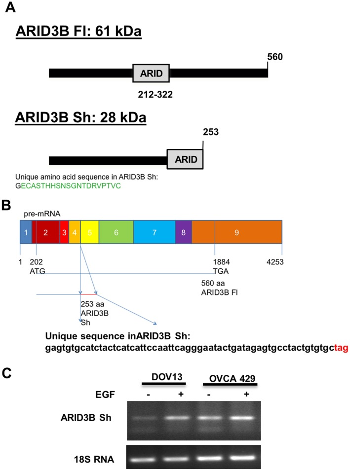 Identification of a novel alternative splice form of ARID3B (ARID3B Sh). A . Schematic representations of the proteins generated from the human ARID3B splice forms. ARID3B Sh contains a unique epitope from intron 4. B . Schematic representation of the human ARID3B splice forms pre-mRNA sequence. The unique mRNA sequence found in ARID3B Sh is depicted. C . The expression of ARID3B Sh was confirmed in ovarian cancer cell lines. The human ovarian cancer cell lines, OVCA 429 and DOV13, were serum starved (SS) for 24 h, treated with or without 20 nM EGF for an additional 24 h. RT-PCR analyses for ARID3B Sh and 18 s rRNA were performed.