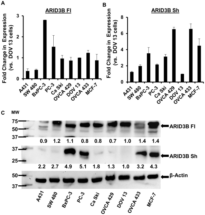 Expression of ARID3B splice forms in cancer cell lines. QRT-PCR for ARID3B Fl ( A ) and ARID3B Sh ( B ) was performed on total RNA isolated from the following cancer cell lines; A431 (skin), SW 480 (colon), BxPC-3 (pancreatic), PC-3 (prostate), Ca Ski (cervical), MCF-7 (breast), and three ovarian cancer cell lines, DOV13, OVCA 433 and OVCA 429. Results were normalized to 18 S rRNA expression and compared to the expression of ARID3B Fl or Sh in DOV13 ovarian cancer cells. Fold expression relative to DOV13 cells was expressed as the mean ± SEM of triplicate measurements. C . Western blot was performed for ARID3B and β-actin on cancer cell line lysates. Results were normalized to β-actin expression and compared to the expression of ARID3B Fl/Sh in DOV13 ovarian cancer cells. The densitometry evaluation of the western blot analyses for ARID3B Fl and ARID3B Sh were analyzed (value under blot). Fold expression relative to DOV13 cells was expressed as the mean of triplicate measurements.