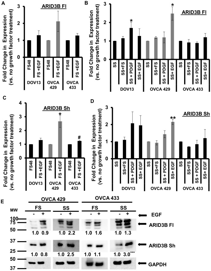 EGFR modestly regulates the expression of ARID3B splice forms. QRT-PCR for ARID3B Fl and ARID3B Sh was performed on total RNA isolated from OVCA 429, OVCA 433 and DOV13 ovarian cancer cells grown in 10% serum conditions (FS) ( A and C ) or serum starved (SS) ( B and D ) for 24 h and treated with or without 20 nM of EGF or 10 nM of PDGF for an additional 24 h. QRT-PCR was performed for ARID3B Fl ( A and B ) and ARID3B Sh ( C and D ). Expression was normalized to 18 s rRNA. Fold expression was normalized to non-EGF treated cells (SS or FS) and was expressed as the mean ± SEM of triplicate measurements. Statistical analysis was performed to determine if there were any significant changes between FS vs. treatment with FS and EGF in all three ovarian cancer cell lines and for both ARID3B isoforms ( A and C ). We also performed statistical analysis to determine if there were any significant changes between SS vs. treatment with SS and FS or PDGF or EGF in all three ovarian cancer cell lines and for both ARID3B isoforms ( B and D ). E . OVCA 429 and OVCA 433 ovarian cancer cells grown in serum starved (SS) or 10% serum conditions (FS) for 24 h and treated with or without 20 nM of EGF for an additional 24 h. Whole cell lysates were analyzed by western blot using anti-ARID3B and anti-GAPDH (control) antibodies. Results were normalized to GADPH expression and compared to the expression of cell not treated with EGF (SS or FS). The densitometry evaluation of the western blot analyses for ARID3B Fl and ARID3B Sh in ovarian cancer cells were analyzed (value under blot). Statistical analysis was performed to determine if there were any significant changes between (FS) vs. (FS and EGF) and (SS) vs. (SS and EGF) in all three ovarian cancer cell lines and for both ARID3B isoforms fold expression was expressed as the mean of triplicate measurements. [*p