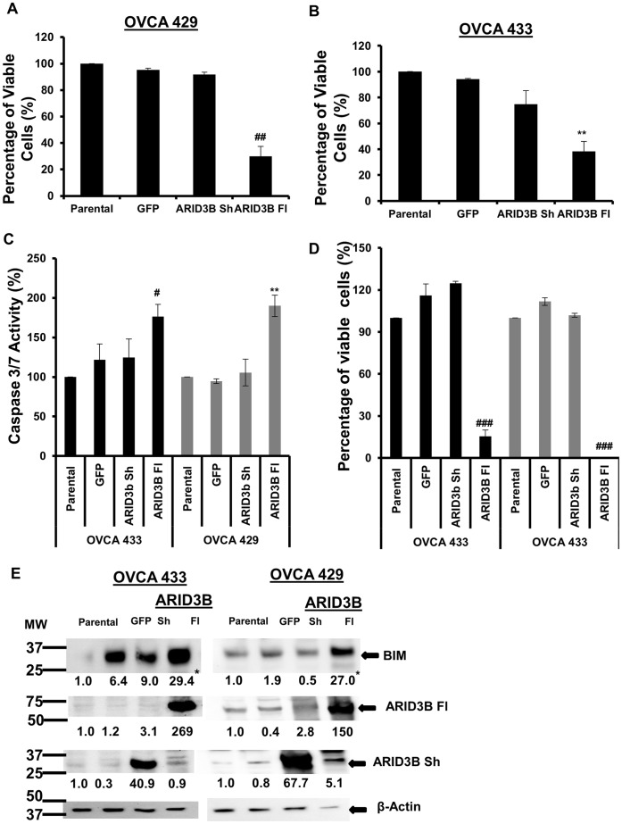ARID3B Fl induces apoptosis in ovarian carcinoma cells. Flow cytometry analysis using Annexin V and 7-AAD was used to evaluate the apoptosis in OVCA 429 ( A ) and OVCA 433 ( B ) overexpressing the ARID3B splice forms. OVCA 429 and OVCA 433 cells were lentivirally transduced with ARID3B Fl, ARID3B Sh and GFP (control). Flow cytometry for Annexin V and 7-AAD was performed on OVCA 429 (A) and OVCA 433 (B) the percentage of viable cells was expressed as the mean ± SEM of triplicate measurements. C . The Caspase-Glo 3/7 assay for Caspase 3/7 activities was performed on OVCA 433 and OVCA 429 ovarian cancer cells 72 h post transduction. Caspase-Glo 3/7 activity is shown in reference to parental cell and normalized to the cell count after transduction with GFP, ARID3B Sh and ARID3B Fl for 72 h. Caspase activity of parental cells was defined as 100%. Caspase activity was expressed as the mean ± SEM of triplicate measurements. D . Cell viability analysis using MTT assay was used to confirm the apoptotic phenotype of ARID3B Fl. MTT assay was performed on OVCA 429 and OVCA 433 transduced with ARID3B Fl, ARID3B Sh and GFP cells for 72 h and the percentages of viable cells (compared to parental cells) were expressed as the mean ± SEM of triplicate measurements. E . Western blot using anti-ARID3B, anti-BIM and anti- β-actin (control) antibodies on transduced OVCA 433 and OVCA 429 cells. The densitometry evaluation of the western blot analyses for BIM was analyzed (value under blot). Results were normalized to β-actin expression and compared to parental ovarian cancer cells Statistical analysis was performed to determine if there were any significant changes between parental ovarian cancer cells vs. GFP, ARID3B Sh or ARID3B Fl transduced ovarian cancer cells. [**p