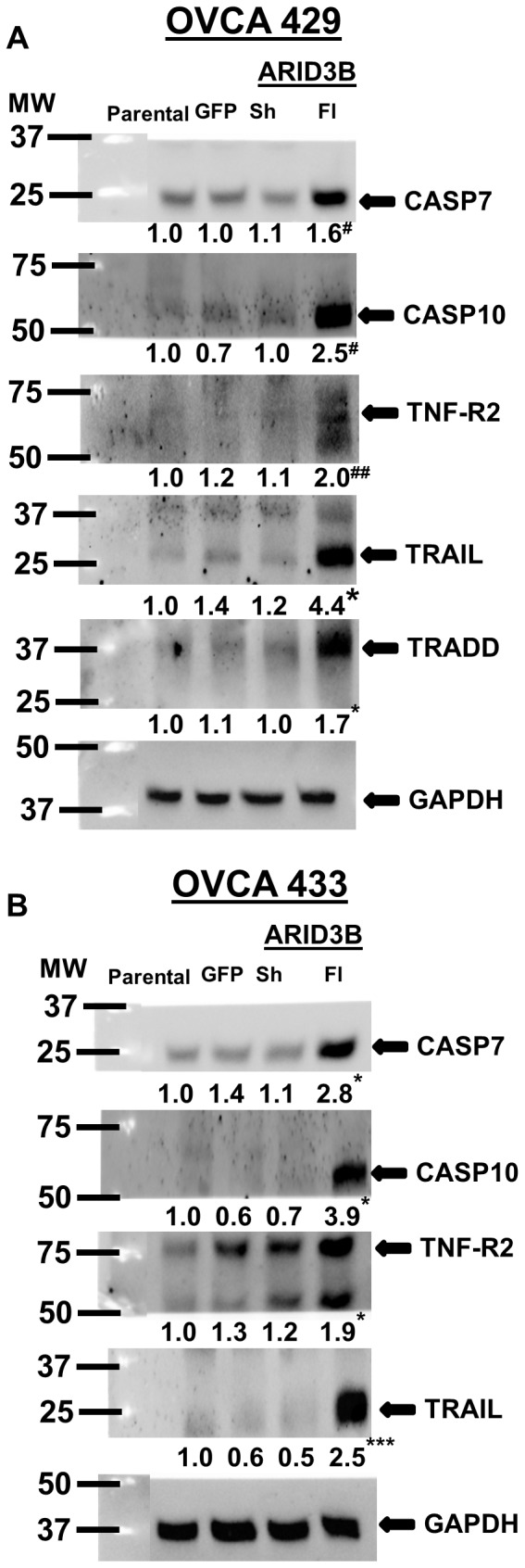 ARID3B Fl induces apoptosis in ovarian carcinoma cells via TNFα/TRAIL pathways. Western blot using anti-Caspase 7, anti-Caspase 10, anti-TNF-R2, anti-TRAIL, anti-TRADD and anti- GAPDH (control) antibodies on transduced OVCA 429 ( A ) and OVCA 433 ( B ) cells. The densitometry evaluations of the western blots were analyzed (value under blot). Results were normalized to GAPDH expression and compared to parental ovarian cancer cells. Statistical analysis was performed to determine if there were any significant changes between parental ovarian cancer cells vs. GFP, ARID3B Sh or ARID3B Fl transduced ovarian cancer cells. [*p