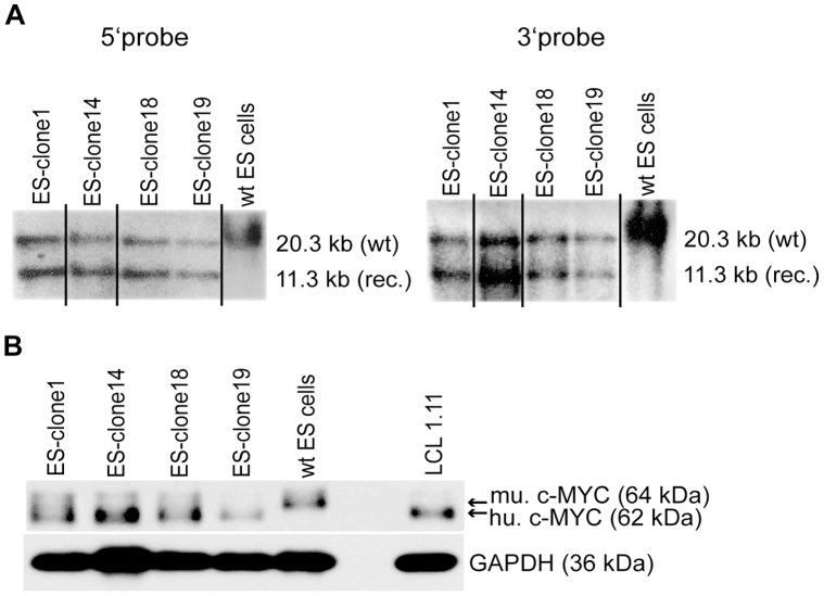 Confirmation of homologous recombination and c-MYC2 expression in ES cell clones. (A) Genomic DNA of ES cell clones 1, 14, 18 and 19 and of wildtype ES cells (wt Bruce 4) was digested with Eco RI. Digested DNA was analyzed by Southern blotting with a 5′ probe and a 3′ probe. (wt) DNA fragment of the wildtype c-Myc locus; (rec.) DNA-fragment of recombined hc-Myc locus. (B) Protein extracts were prepared of ES cell clones 1, 14, 18 and 19 as well as of wildtype ES cells (wt Bruce 4) and of a human lymphoblastoid cell line (LCL 1.11). Human c-MYC2 (hu. c-MYC, ca. 62 kDa) was detected with antibody clone Y69. In wildtype ES cells murine c-MYC2 (mu. c-MYC, ca. 64 kDa) was detected. For loading control an antibody specific for glyceraldehyde-3-phosphat-dehydrogenase (GAPDH; ca. 36 kDa) was used. Western blot results were reproduced five times.