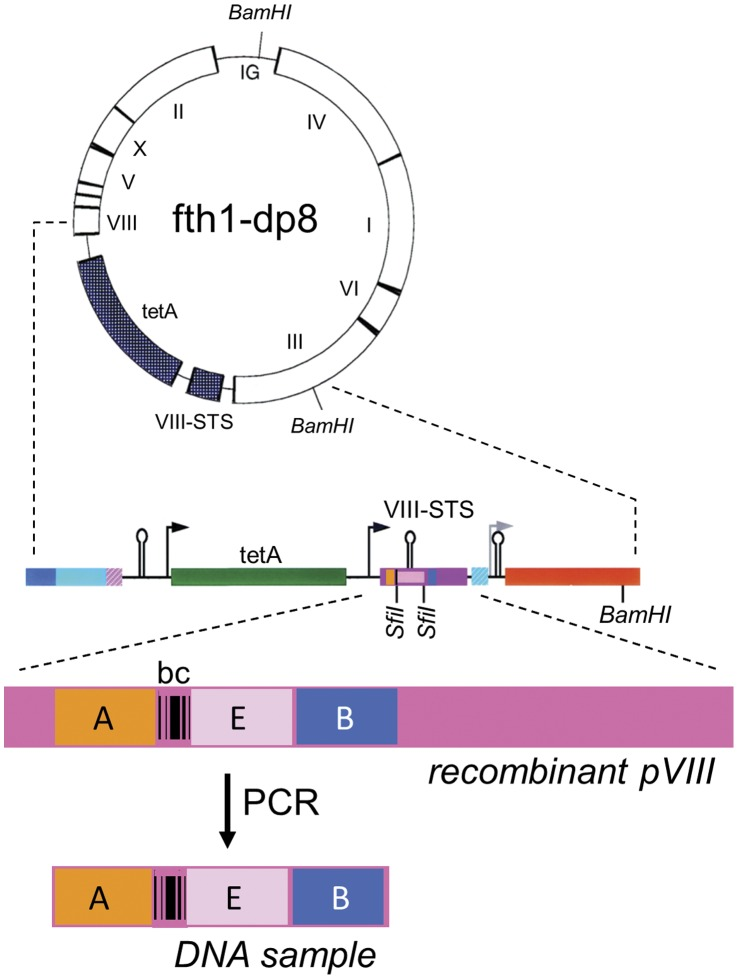 """The fth1-dp8 vector. The recombinant protein 8 gene of the fth1 vector (VIII-STS) was modified by introducing the 5′ (A – orange) and 3′ (B – blue) Illumina adaptors such that they flank the DNA insert (E). Reference DNA barcodes were introduced between the A adaptor and the first SfiI site (bc, see """" Pre-processing of sequence data"""" in Methods). Samples for deep sequencing are generated directly by PCR using the adaptors as PCR primers."""