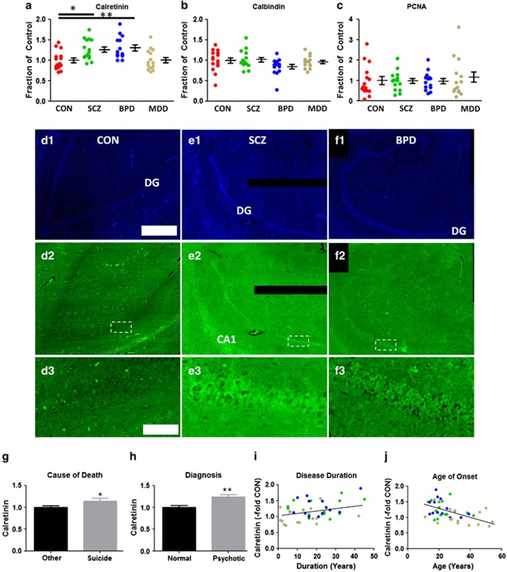 Identification of immature dentate gyrus' (iDG) in a subset of schizophrenia/bipolar disorder (SCZ/BPD) patients. Expression of ( a ) calretinin, ( b ) calbindin and ( c ) PCNA ratios within the dentate gyrus (DG) of SCZ, BPD and major depressive disorder (MDD) cohorts. Calretinin was consistently overexpressed in DG neurons in SZ/BPD patients vscontrol ( d2–f2 ; boxed areas magnified in d3–f3 ; DAPI d1–f1 ). Elevated calretinin expression is positively associated with ( g ) suicide death, ( h ) psychosis diagnosis and ( i ) disease duration and ( j )negatively associated with age at disease onset. ( i–j ) SCZ = green, BPD = blue, MDD = brown. Scale bars: 1 mm ( d–f1, 2 ); 100 μm ( d–f3 ). P values: *