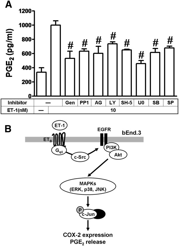 ET-1-induced PGE 2 release is mediated through a c-Src-dependent transactivation of EGFR/PI3K/Akt cascade. ( A ) Cells were incubated with 10 nM ET-1 for 6 h in the absence or presence of genistein (Gen, 10 nM), PP1 (100 nM), AG1478 (AG, 1 μM), LY294002 (LY, 00 nM), SH-5 (100 nM), U0126 (U0, 1 μM), SB202190 (SB, 300 nM), or SP600125 (SP, 300 nM), and the conditioned media were collected to assay the PGE 2 level by EIA kit. Data are expressed as mean ± SEM of three individual experiments ( n = 3). # P