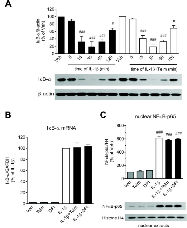 The nuclear factor-kappa B (NF-κB) pathway is not involved in the neuroprotective effect of telmisartan in SK-N-SH neuroblasts. (A) Telmisartan does not prevent time-dependent IκB-α protein degradation in cells in response to interleukin-1 beta (IL-1β). Cells were pretreated for 2 hours with 10 μmol/l telmisartan (Telm) before exposure to 10 ng/ml IL-1β for the indicated time intervals. IκB-α protein levels were determined in whole-cell extracts, and normalized to β-actin. (B) Neither telmisartan nor diphenyleneiodonium (DPI) modified IL-1β-induced expression of IκB-α mRNA. The cells were pretreated for 2 hours with 10 μmol/l Telm or 5 μmol/l DPI before exposure for 3 hours to 10 ng/ml IL-1β to determine IκB-α mRNA expression. (C) Neither telmisartan nor DPI affected IL-1β-induced nuclear translocation of the NF-κB p65 subunit. The cells were pretreated for 2 hours with 10 μmol/l Telm or 5 μmol/l DPI before exposure for 30 minutes to 10 ng/ml IL-1β. The NF-κB p65 subunit protein was determined in nuclear extracts and normalized to the level of the nuclear protein histone H4. Representative western blots are shown below the corresponding bar graphs. Results are presented as means ± SEM from three independent experiments. # P