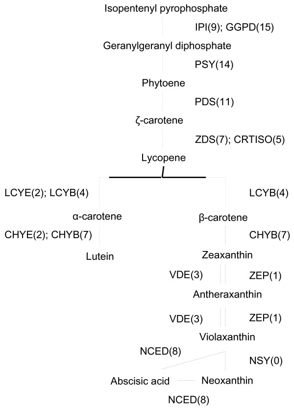 Distribution of carnation transcripts in the carotenoid biosynthesis pathway. Previously published sequences in GenBank belonging to the carotenoid biosynthesis pathway were used in BLAST searches to identify genes in the carnation EST database. Each enzyme name is followed in parentheses by the number of contigs homologous to gene families encoding this enzyme. IPI, isopentenyl pyrophosphate isomerase; GGDP, geranylgeranyl diphosphate synthase; PSY, phytoene synthase; PDS, phytoene desaturase; ZDS, ζ-carotene desaturase; LCYB, lycopene β-cyclase; LCYE, lycopene ϵ-cyclase; CHYB, β-ring hydroxylase; CHYE, ϵ-ring hydroxylase; ZEP, zeaxanthin epoxidase; VDE, violaxanthin de-epoxidase; CRTISO, carotenoid isomerase; NSY, neoxanthin synthase; NCED, 9- cis -epoxycarotenoid dioxygenase.
