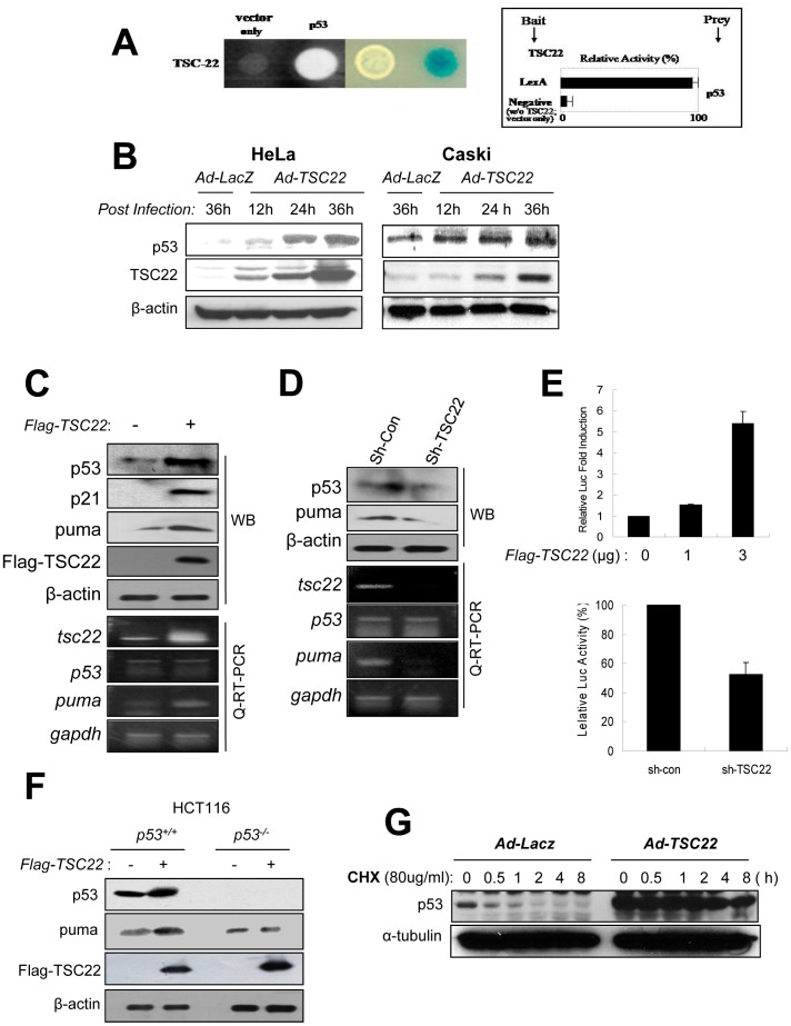 TSC-22 induces p53 expression. ( A ) TSC-22 and p53 cDNA constructs were cotransformed into EGY48 yeast cells to test for protein–protein interaction within the yeast two-hybrid system. Transformants were assayed for their ability to grow on medium lacking leucine (left) and for β-galactoside expression (right). ( B ) HeLa cells and Caski cells were infected with Ad- TSC-22 for the indicated times. Protein levels were analyzed by Western blot with the DO-1 antibody against p53, the anti-TSC-22 antibody, and the anti-β-actin antibody as a loading control. ( C ) HeLa cells were transfected with 1 µg of Flag-TSC-22 expression vector. 24 h post-transfection, p53, Puma, p21, and TSC22 expression were analyzed by Western blotting and semi-quantitative RT-PCR with protein and total RNA obtained from each cell line. ( D ) HeLa cells stably expressing shRNA specific for TSC-22 and non-targeting control shRNA were analyzed to determine the protein and mRNA expression levels of p53 and Puma. ( E ) Luciferase activity of the p53RE (responsible element)-driven promoter were assessed with transfection of the indicated amount of Flag-TSC-22 plasmid in HeLa cells (upper panel). Activity of the p53RE-promoter was assessed in sh-con and sh-TSC-22 expressing HeLa cells (lower panel) by luciferase assays. ( F ) One µg of Flag-TSC-22 or Flag-mock vector was transfected into p53 +/+ or p53 −/− HCT116 cells. At 48 h post-transfection, cell lysates were analyzed by Western blotting with the indicated antibodies. ( G ) Stability of p53 protein was assessed in HeLa cells infected with Ad- TSC-22 or Ad- LacZ . 24 h after infection, cells were treated with cycloheximide (50 µg/mL) for the indicated periods of time. Cell lysates were analyzed by Western blotting with anti-p53 antibody (DO-1) with β-actin as a loading control.