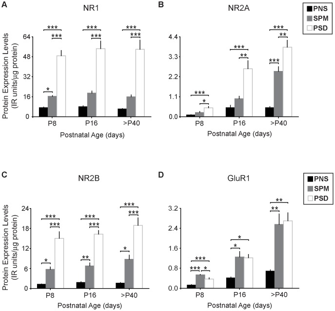 Glutamate receptor subunits NR1, NR2A, NR2B, and GluR1 are highly enriched in PSDs of postnatal mice. Relative protein levels of ( A ) NR1, ( B ) NR2A, ( C ) NR2B, and ( D ) GluR1 in mouse forebrain. Protein data are averaged means of immunoreactive (IR) values relative to total protein loads (µg). n = 5–9. Error bars represent SEM. * p