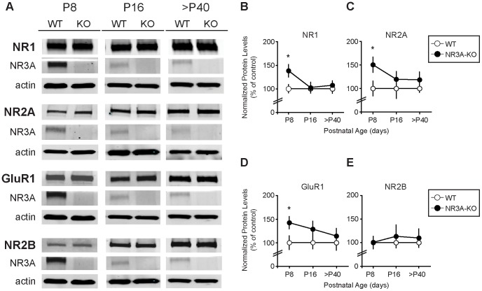 Deletion of NR3A transiently accelerates expression of synapse maturation markers. ( A ) Representative immunoblots from NR3A-KO compared to WT controls show increased PSD levels of ( B ) NR1, ( C ) NR2A, and ( D ) GluR1 at P8 that return to WT levels by P16 and adult ages. ( E ) NR2B expression is unchanged in the NR3A-KO. ( B, C, D, E ) Data are averaged means of immunoreactive values relative to protein loads (µg) and presented as percent of control values. NR1 values for age P8 are re-plotted here from [14] for comparative purposes. Error bars represent SEM. n = 7–10. Significance from control: * p