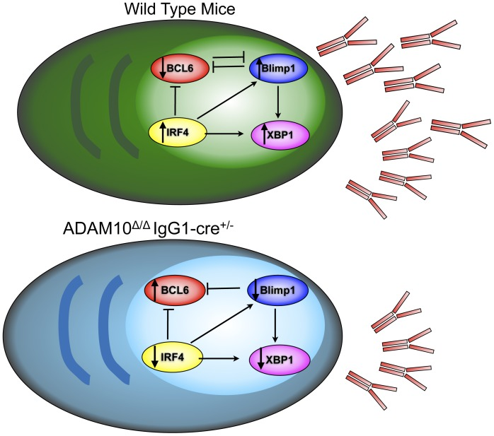 Model. Wild type plasma cells express higher levels of Blimp1, IRF4 and XBP1, while Bcl6 is repressed. This allows for antibody secretion. In the case of ADAM10 Δ/Δ IgG1-cre +/− mice, Bcl6 levels are higher than seen in wild type. Moreover, Blimp1, IRF4 and XBP1 expression are decreased, leading to impaired antibody secretion.
