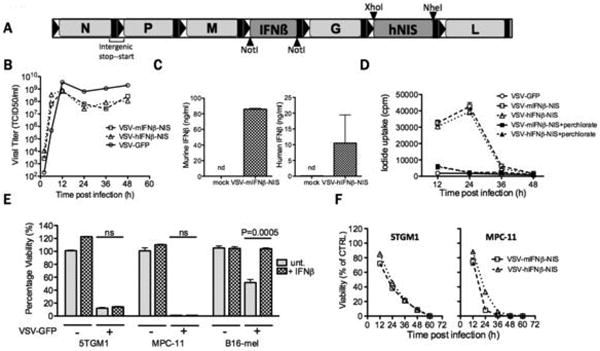 Generation and characterization of VSV expressing IFNβ and NIS (A) Schematic of VSV-IFNβ-NIS. Two viruses were constructed, one encoding mouse IFNβ, the other human IFNβ. (B) One-step virus growth curves on BHK cells infected with VSV-GFP, VSV-mIFNβ-NIS or VSV-hIFNβ-NIS at MOI 1.0; (C) secretion of murine or human IFNβ by VSV-IFNβ-NIS-infected BHK cells, measured by ELISA. n.d. is not detectable. (D) Radioiodine uptakes by BHK cells infected with VSV-GFP, VSV-mIFNβ-NIS or VSV-hIFNβ-NIS at MOI 1.0. Uptakes were determined with (black symbols) or without (grey symbols) potassium perchlorate (KClO 4 ), a specific inhibitor of NIS-mediated radioiodine uptake (E) Killing of myeloma cell lines by VSV. Viability of mouse IFNβ-treated (100U/ml for 12 hours) or untreated 5TGM1 and MPC-11 murine myeloma cells and B-16 murine melanoma cells was assessed by MTT assay at 48h after infection with VSV-GFP (MOI 1.0) and plotted as % viability compared to untreated cells. Significant differences were measured by t-test and P values are shown. (F) Timecourse of 5TGM1 and MPC-11 cell killing was monitored following infection with VSV-mIFNβ-NIS or VSV-hIFNβ-NIS (MOI 1.0) by measuring cell viability at 12h intervals by MTT assay. MPC-11 was killed more rapidly than 5TGM1. Error bars indicate Standard error of the mean (SEM)