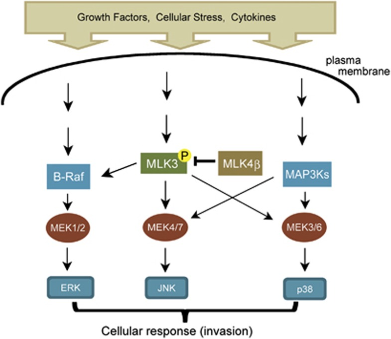 A schematic diagram illustrating the role of MLK4β in MAPK signaling. MLK3, upon activation, activates the p38, JNK and ERK MAPK pathways leading to different cellular responses, including invasion. Our results indicate that MLK4β negatively regulates MLK3 activation and the ERK, JNK and p38 MAPK-signaling pathways. Therefore, MLK4β-dependent suppression of MAPK signaling may be mediated through inhibition of MLK3 activation.