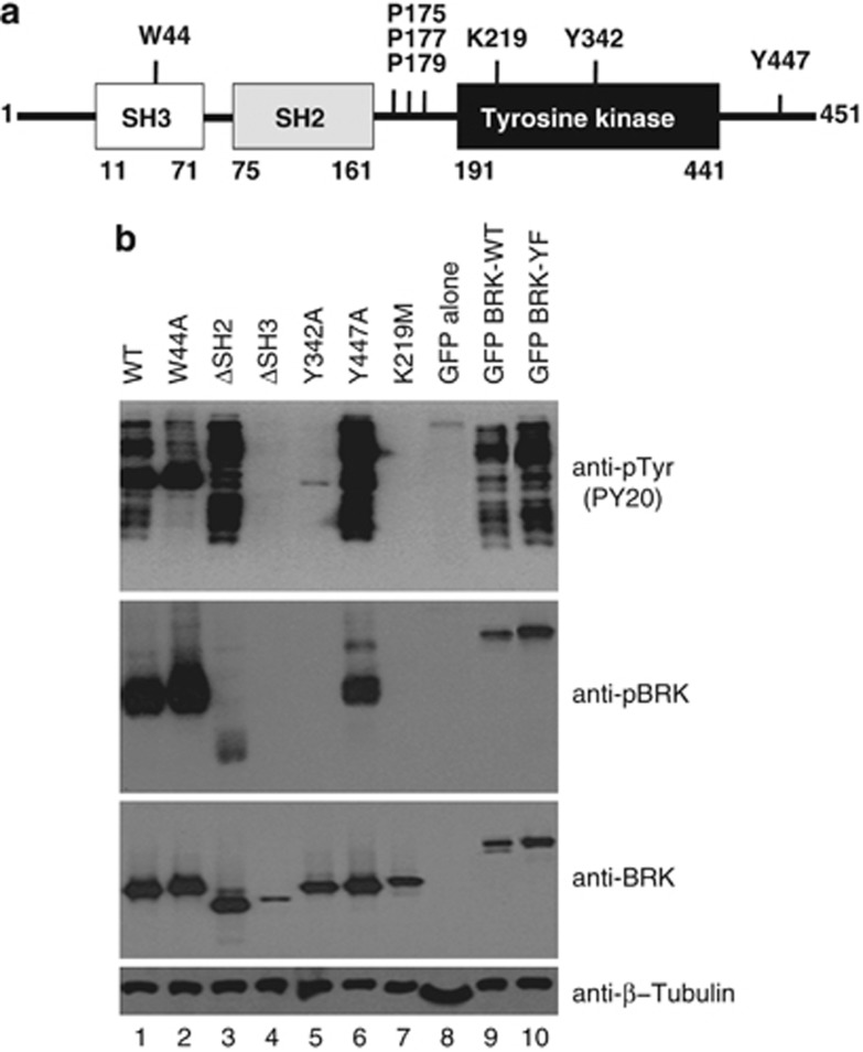 Tyr447Phe BRK mutant is significantly more active than the WT BRK. ( a ) Schematic representation of BRK. The diagram shows the functional domains and the positions of some of the keep residues mutated in this study.( b ) Activity of BRK and BRK mutants in transfected HEK293 cells. WT BRK and BRK mutants, non-tagged and GFP-tagged, were transfected and expressed in HEK293 cells as described in 'Materials and methods'. The cells were transiently transfected with 0.1% PEI 'Max' (Polysciences Inc.) at a ratio of 3:1 reagent to DNA with the total amount of DNA being 2.5 μg per well in six-well dishes. Cells were washed 4 h after transfection, then cultured in DMEM containing 10% fetal calf serum for an additional 24 h. Cell lysates were subjected to SDS–PAGE and the proteins transferred onto nitrocellulose membranes and immunoblotted with antiphosphotyrosine antibody (PY20) and anti-BRK and anti-phospho-BRK (pTyr342). Anti-β-tubulin served as a loading control.