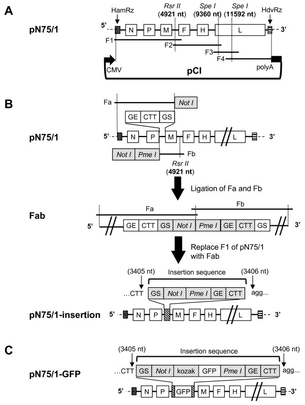 Construction of plasmids for PPRV rescue. ( A ) The cDNA fragments F1, F2, F3 and F4 were reverse transcribed and amplified from PPRV/N75/1 genomic RNA. The hammerhead ribozyme sequence (HamRz) and the hepatitis delta virus ribozyme sequence (HdvRz) were introduced to the 5′ end of F1 and the 3′ end of F4, respectively. All fragments were then subcloned stepwise into the pCI vector to produce plasmid pN75/1. ( B ) DNA fragments Fa (from the HamRz to the GS sequence of M with a Not I site introduced at 3′ end) and Fb (from GE of P gene to the end of F1 with Not I and Pme I sites introduced at the 5′ end) were PCR-amplified from pN75/1 and ligated together to get fragment Fab, then section F1 of pN75/1 was replaced with Fab to get plasmid pN75/1-insertion. The net result was equal to insertion of a morbillivirus gene start (GS) sequence, Not I and Pme I sites, gene end (GE) sequence and CTT intergenic trinucleotide into pN75/1 between nt 3405 and 3406 of the PPRV/N75/1 genome cDNA sequence. ( C ) The GFP ORF with a Kozak sequence at the 5′ end of the ORF was inserted into plasmid pN75/1-insertion to produce plasmid pN75/1-GFP.