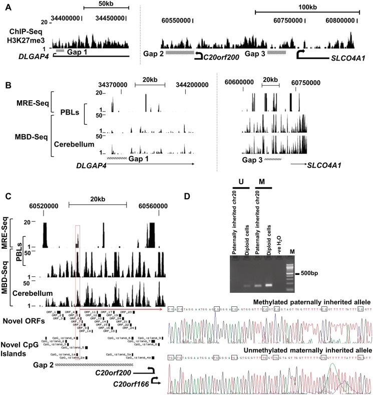 Chromatin distribution and DNA methylation profile across human chr 20-gap regions. ( A ) H3K27me3 is distributed across all three human chr-20 gap regions in EBV-PBLs. ( B ) MRE-Seq (hypomethylated) and MBD-Seq (hypermethylated) aligned peak reads within gaps 1 and 3. Methylation distribution is similar in PBL and human cerebellum for both gaps 1 and 3. ( C ) Methylation profile of gap 2 shows it to be enriched for both hypomethylated and hypermethylated CpGs, respectively. CpG island 4/1a (red rectangle) is enriched for both MBD-Seq and MRE-Seq reads suggesting it to be a differentially methylated locus. CpG islands 2–6 were annotated using the classification: 500-bp region of genomic DNA with ≥50% CG content and an observed CpG to expected CpG ratio of 0.6. CpG islands 1a–3a were classified based on a CpG island being a 500-bp region of genomic DNA with ≥55% CG content and an observed CpG to expected CpG ratio of 0.65. Images are drawn to scale. ( D ) Differentially methylated and paternally hypermethylated CpGs island 4/1a within gap 2 using bisulfite allelic sequencing and gDNA from mouse–human cell hybrid cell lines or diploid human cells.
