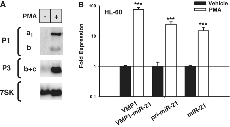 Phorbol ester mediated induction of pri-miR-21 and VMP1–miR-21. ( A ) Northern blot analysis of total RNA from HL-60 cells treated with PMA (+) or vehicle (−) for 6 h. At the left, probes used for each blot and identifying letters for the transcripts are indicated. ( B ) Quantitative RT-PCR analysis of HL-60 cells treated with PMA or vehicle. Relative induced expression of VMP1 and VMP1–miR-21 (exons 10-11), pri-miR-21 (intron 11) and an area surrounding miR-21 hairpin (miR-21) are normalized to actin. Note that VMP1 and VMP1–miR-21 are indistinguishable by this quantitative RT-PCR analysis. Error bars represent standard deviations derived from two independent experiments measured per triplicate. *** P